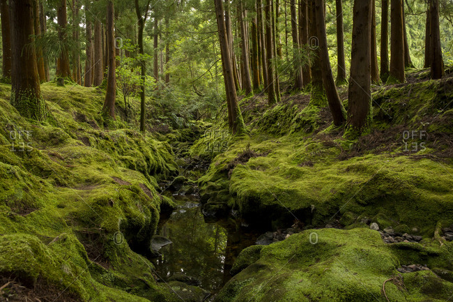 Moss covered woods in Terceira