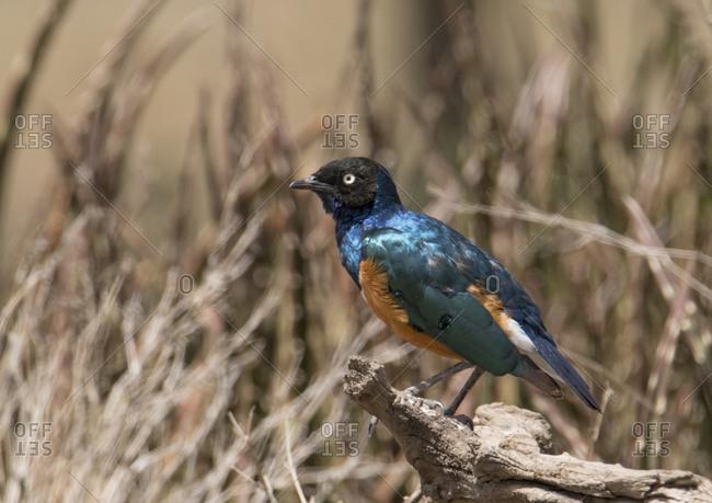 Africa, Tanzania, Ngorongoro Conservation Area. Superb Starling (Lamprotornis superbus)