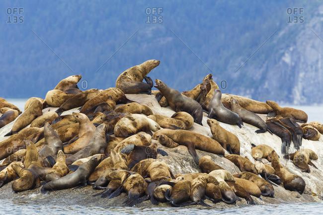 Alaska, Glacier Bay. Stellar sea lions (Eumetopias Jubatus), hauled out to warm up on rocks in the bay near the Marble Islands