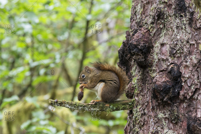 Alaska, Glacier Bay National Park. American Red Squirrel (Tamiasciurus hudsonicus) eating seeds from pinecone on branch