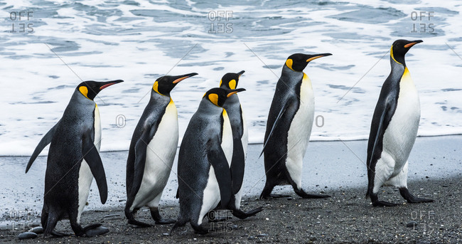 Antarctic, penguins, marching