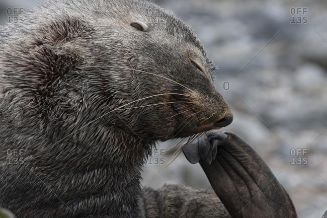 Antarctica, Fur Seal, grooming
