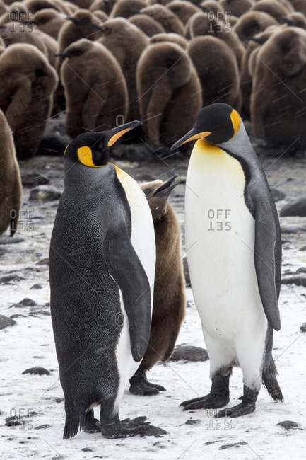 Antarctica, South Georgia Island, Salisbury Plain, King Penguins and Chick
