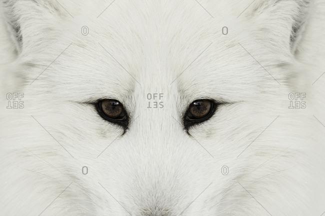 Arctic Fox in snow, (Captive) Montana, native to Arctic regions of northern hemisphere