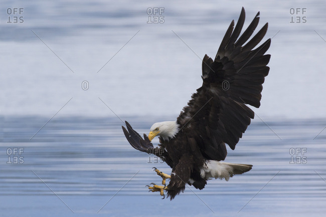 Bald Eagle Attacking