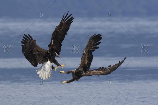 Bald Eagles, Dispute