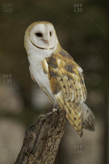 Barn Owl, Tyto alba (Captive) Montana