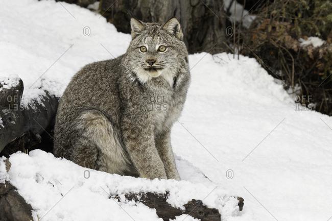 Canada Lynx or Canadian Lynx in winter, (Captive) Montana
