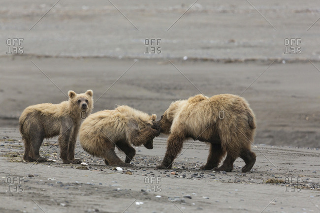 Coastal Grizzly bear cub (Ursus arctos Horribilis) gets scolded by its mother. Lake Clark National Park, Alaska