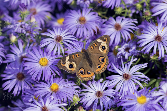 Common Buckeye (Junonia Coenia) on Frikart's Aster (Aster frikartii) Marion County, Illinois