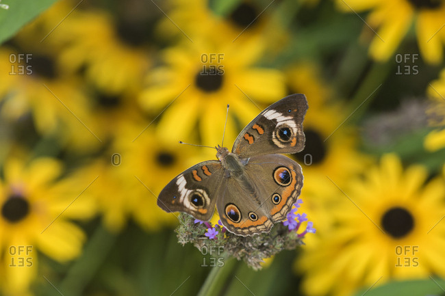 Common Buckeye (Junonia Coenia) on Brazilian Verbena (Verbena Bonariensis) Marion County, Illinois