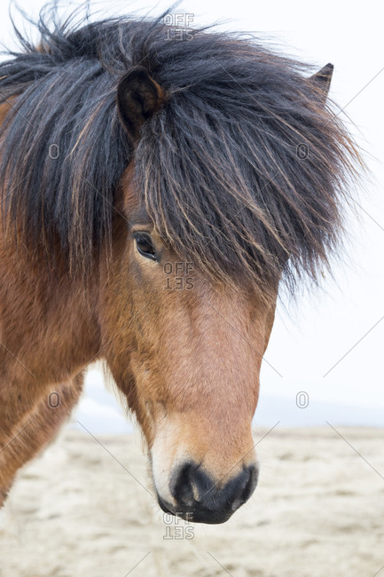 Europe, North Iceland, near Akureyri. Icelandic horses have thick manes and coats that protect them from the cold