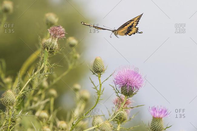 Giant Swallowtail (Papilio Cresphontes) in flight near Bull Thistle (Cirsium vulgare) Marion County, Illinois