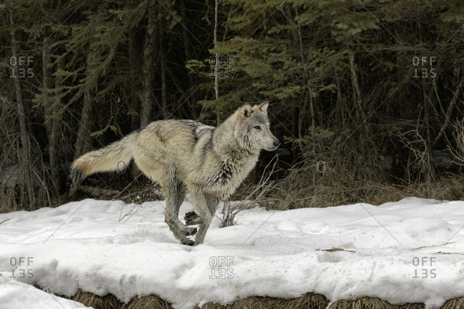 Gray Wolf or Timber Wolf running on snow in winter, (Captive Situation) Canis lupis, Montana