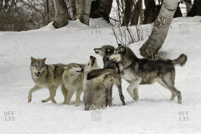 Gray Wolf or Timber Wolf, (Captive Situation) Canis lupis, Montana