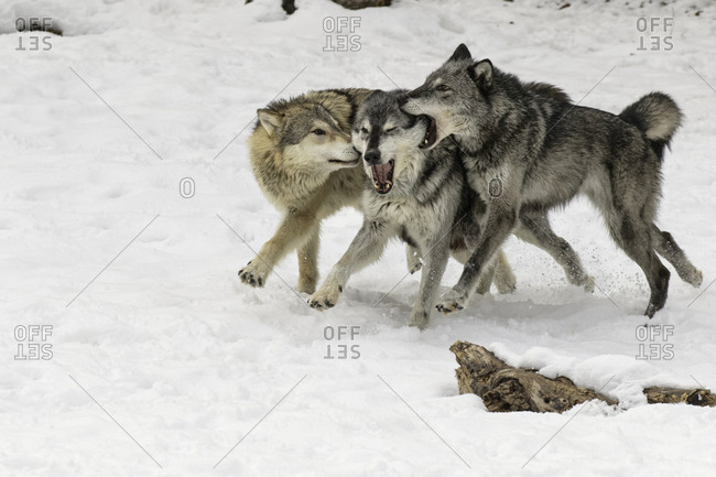Gray Wolf or Timber Wolf, pack behavior in winter, (Captive Situation) Canis lupis, Montana