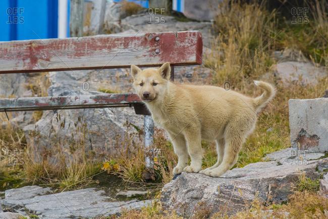 Greenland. Scoresby Sund. Ittoqqortoormiit. Sled dog puppy