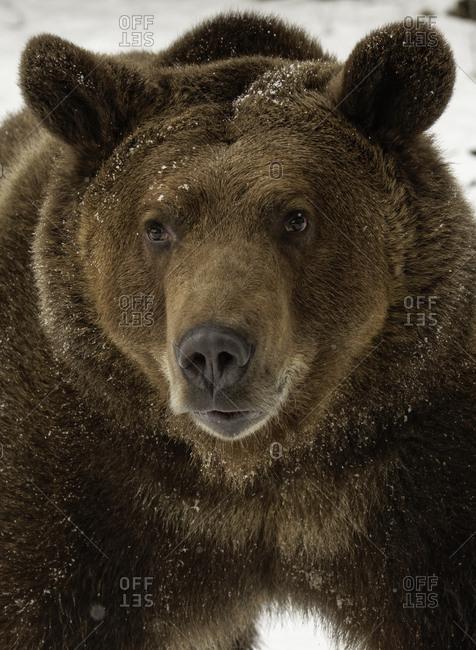 Grizzly Bear in winter, Ursus Arctos, (Captive) Montana