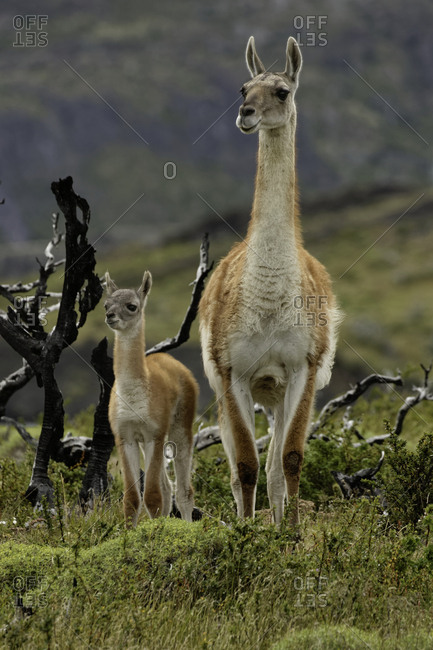 Guanaco and baby (Lama guanicoe), Andes Mountain, Torres del Paine National Park, Chile, Patagonia