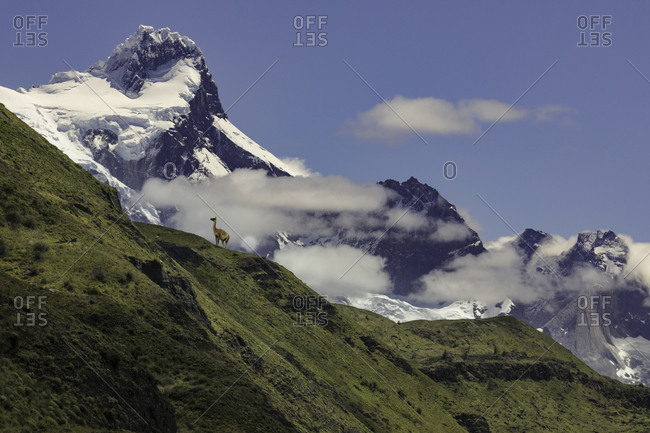 Guanaco or Lama on steep slope, Torres del Paine National Park, Chile, Patagonia, South America, Patagonia