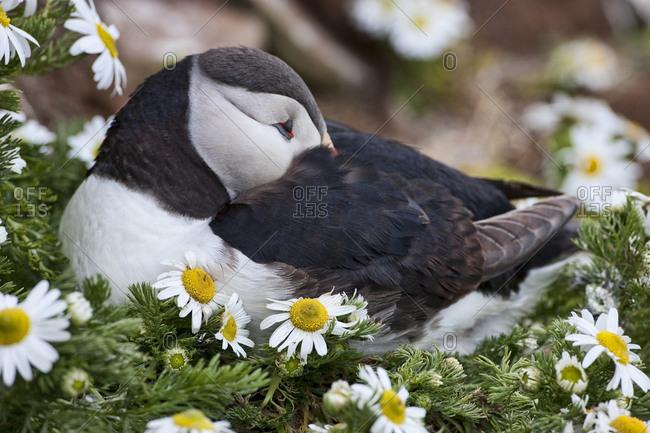Iceland, Breidavik, Puffin Nesting Among the Daisies