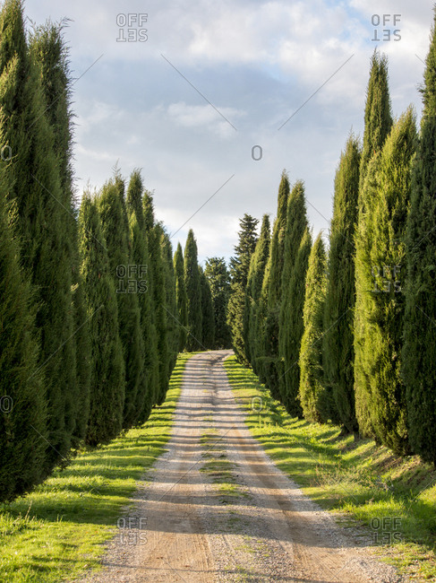 Italy, Tuscany, Long Driveway lined with Cypress trees