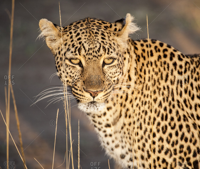 Kenya, Leopard, head shot