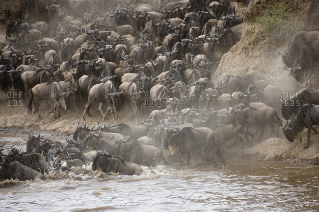 Kenya, Maasai Mara, Wildebeest Crossing the Mara River