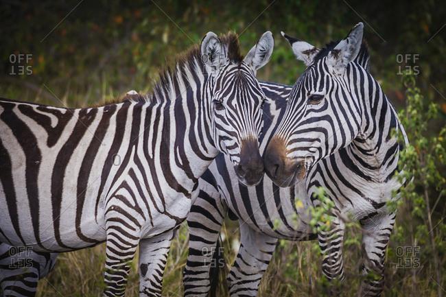 Kenya, Maasai Mara, Zebras Putting Their Heads Together