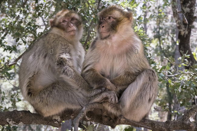 Morocco,. Pair of Barbary Apes, or Macaques, in the High Atlas Mountains, sitting in a tree
