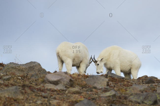 Mountain Goat Billy Sizing One Another Up
