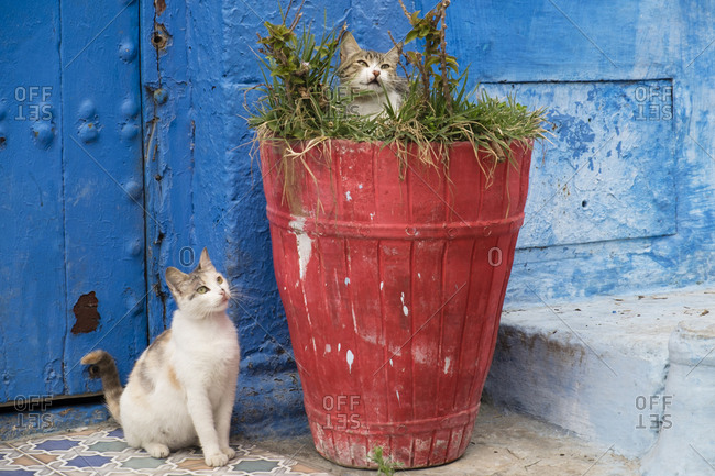 North Africa, Morocco, Rabat, Sale, Kasbah des Oudaias, small narrow streets and neighborhood famous for its vivid blue walls in its 'old town' sector. Cats frequent the neighborhood