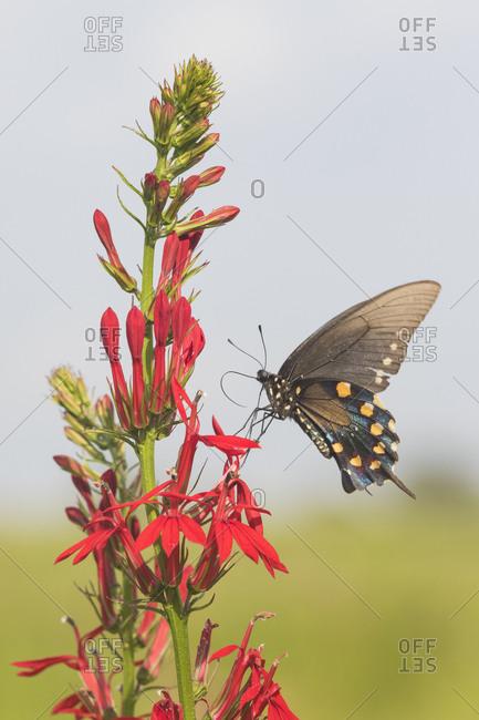 Pipevine Swallowtail (Battus Philenor) on Cardinal Flower (Lobelia Cardinalis) Marion County, Illinois