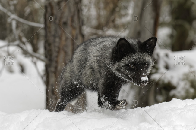 Silver Fox a melanistic form of the red fox, Vulpes Vulpes. (Captive) Montana