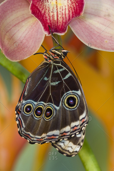 Tropical Butterfly the Blue Morpho, Morpho peleides wings closed hanging on Orchid