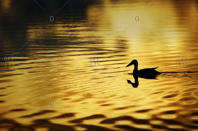 USA, Alaska, Silhouetted duck, Wonder Lake, yellow-gold color