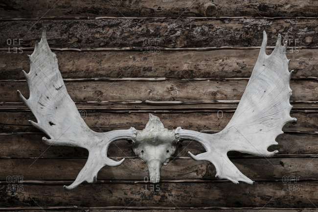 USA, Alaska, Wiseman. Moose antlers on log cabin wall