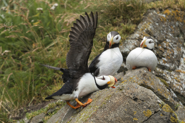 USA, Alaska. A horned puffin makes a landing on the rocks of Duck Island in Cook Inlet