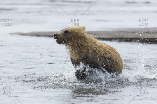 USA, Alaska. Immature coastal grizzly bear (Ursus arctos Horribilis) runs through shallow water on beach. Lake Clark National Park