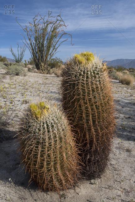 USA, California. California Barrel Cactus (Ferocactus cylindracaus) and Ocotillo (Fouquieria Splendens) in Anza-Borrego Desert State Park