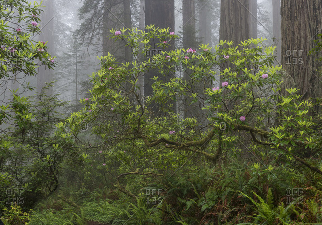 USA, California. Misty morning with Rhododendron (Rhododendron Macrophyllum) and redwood trees, Redwood National Park