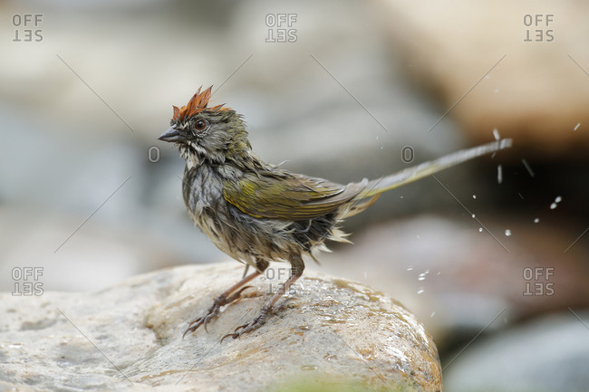 USA, Colorado, Pike National Forest. Green-tailed towhee after bathing