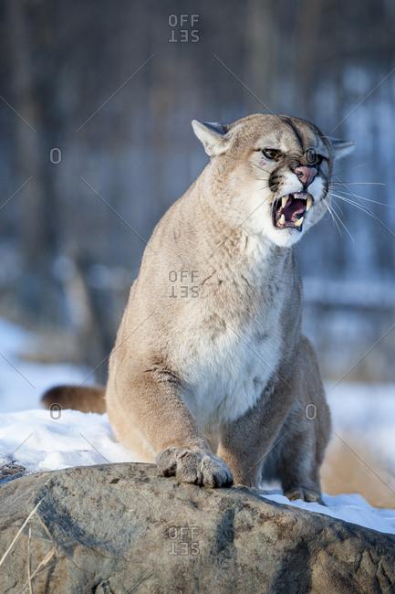 Usa, Minnesota, Sandstone, Cougar Growling
