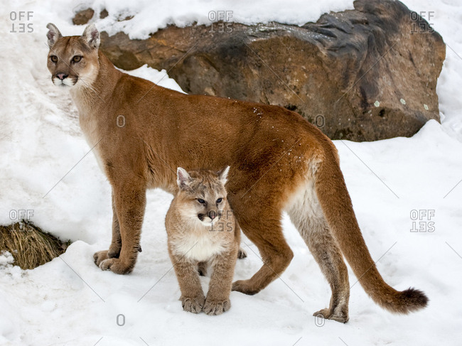 USA, Minnesota, Sandstone, Cougars, Mother and Young