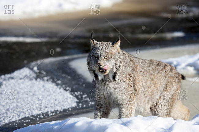 Usa, Minnesota, Sandstone, Lynx patiently waiting for food