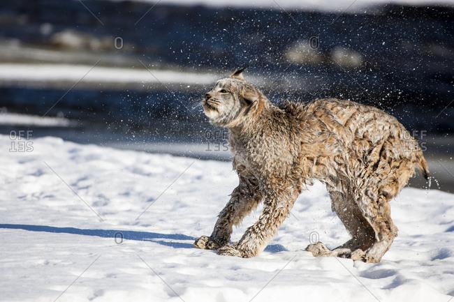 Usa, Minnesota, Sandstone, Lynx shaking off the water