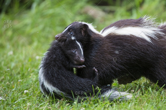 USA, Minnesota, Sandstone, Mother Skunk Carrying the Little One