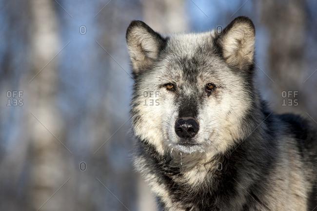 Usa, Minnesota, Sandstone, wolf with a snowy chin