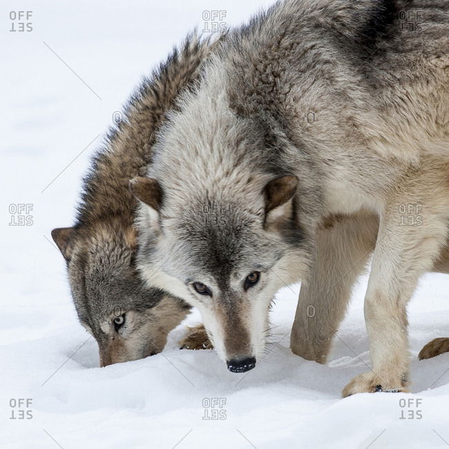 Usa, Minnesota, Sandstone, wolves digging in the snow