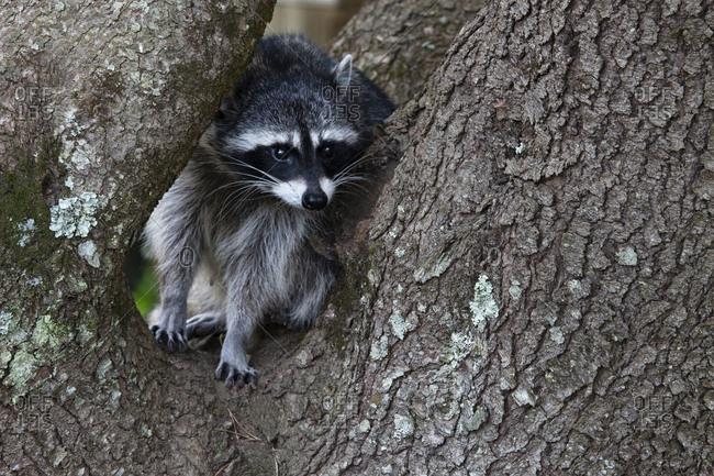 USA, Oregon. Raccoon in notch of tree